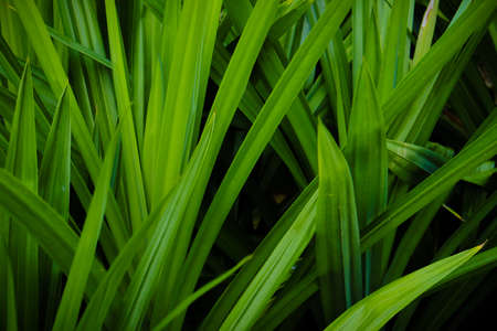 Nature background of green Pandan leaf on shadow darkness, selective focus on foreground. Stock Photo - 134350344