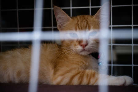 The Ginger cat constrained in the cage then looking to camera, selective focusing style, imprison cat concept.