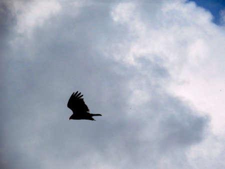 testa: Eagle flying Stock Photo
