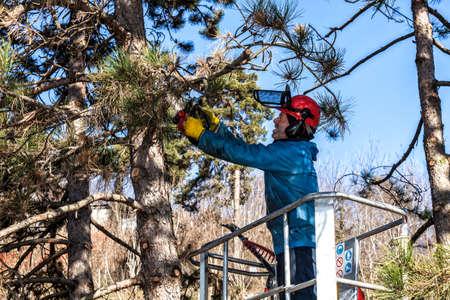 Taille d'arbre par un homme à la tronçonneuse, debout sur une plate-forme mécanique, à haute altitude entre les branches des pins autrichiens. Couper les branches inutiles de l'arbre Banque d'images - 75540264