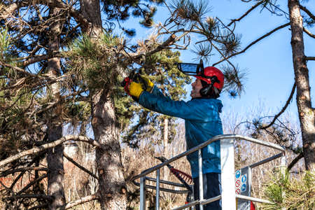 unnecessary: Tree pruning by a man with a chainsaw, standing on a mechanical platform, on high altitude between the branches of austrian pines. Cutting unnecessary branches of the tree Stock Photo