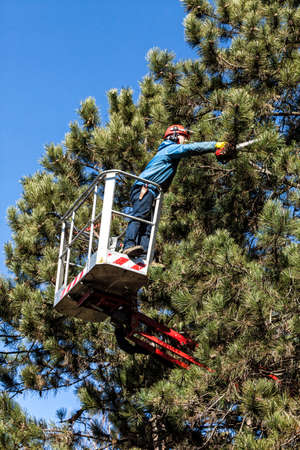 Tree pruning by a man with a chainsaw, standing on a mechanical platform, on high altitude between the branches of austrian pines. Cutting unnecessary branches of the tree Stock Photo
