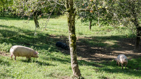 Pigs eating under a tree Banque d'images