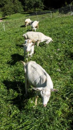 Trois chèvres mangent de l & # 39 ; herbe dans la ferme Banque d'images - 97235864