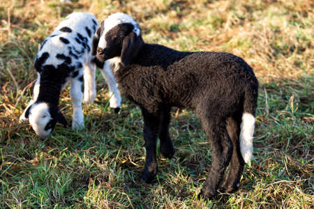 Two lambs, one black with white tail and the other grazing Stock Photo
