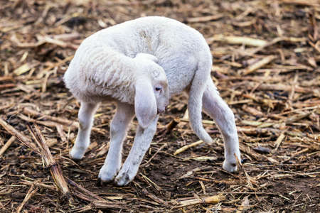 An isolated white lamb
