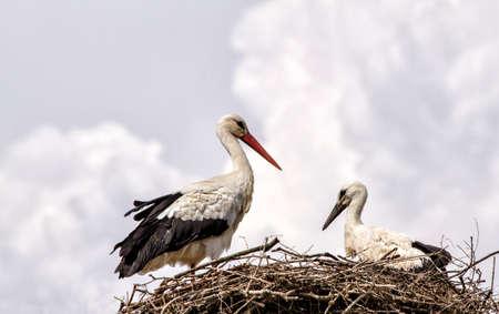 Stork famille dans le nid contre le ciel nuageux Banque d'images - 97205687