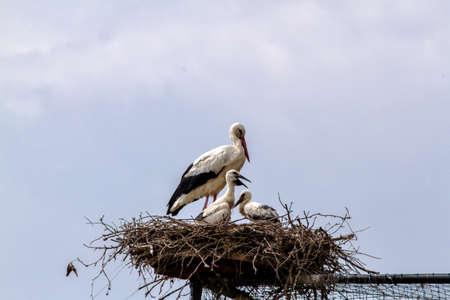 White stork nest, stork babies in the nest