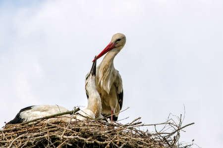 Stork avec jeunes cigognes dans le nid pour l & # 39 ; alimentation Banque d'images - 97318307