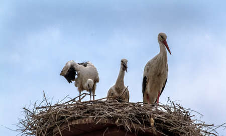 A family of storks in the nest