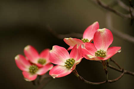 pink Dogwood blooms with shallow depth of field and space for text. Stock Photo