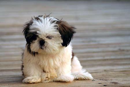 shihtzu: Shih-Tzu puppy with wood texture background