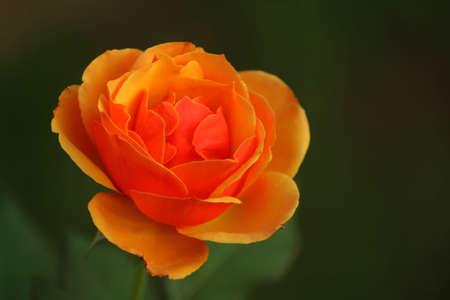 orange rose with a dark background