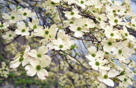frame full of Dogwood blooms for a great Spring background.