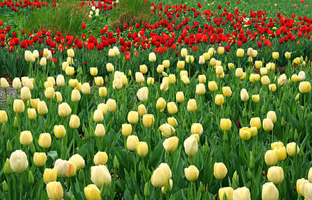 a flower bed of off white and red tulips. photo