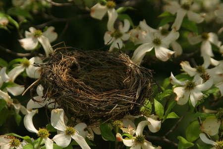 An empty birds nest in a Dogwood tree 版權商用圖片