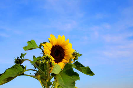 A beautiful sunflower bloom on a beautiful Spring day. photo