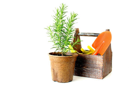 The Herb Rosemary along with garden tools isolated on a white background. Stock Photo