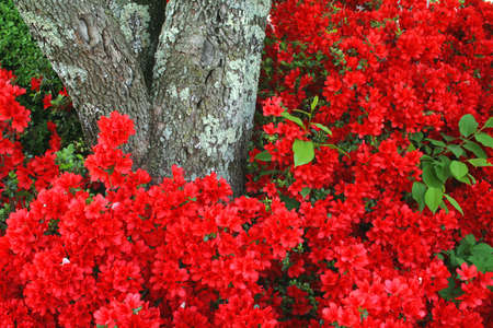 adds: A beautiful azalea full or red blooms and a tree trunk that adds texture.  A great nature background. Stock Photo