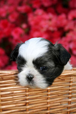 A cute Shih Tzu puppy in a basket outside on a Spring day with an Azalea bush as the background.