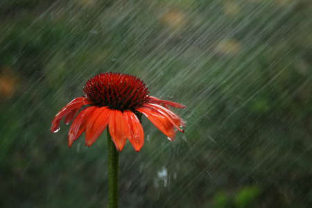 Cone flower during a summer rain.  Shallow DOF used.