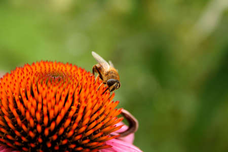 Honey Bee on a purple cone flower with a shallow depth of field and room for copy space. photo