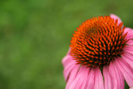 dicot: Close up of a purple cone flower with a shallow depth of field and selective focus used.  Perfect image for card stock.  Plenty of room for copy space. Stock Photo