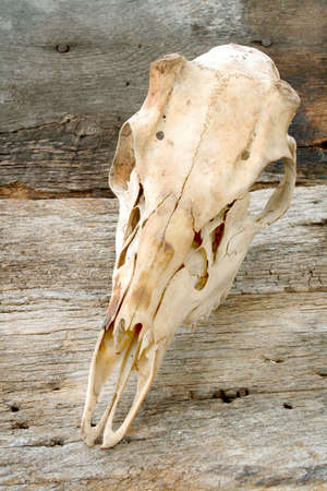 Deer skull isolated on a wood textured background. photo