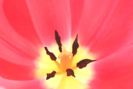 stigmate: Fermer � l'int�rieur d'une tulipe en mettant l'accent sur la stigmatisation. Utilis� une faible profondeur de champ et s�lective focus. Banque d'images