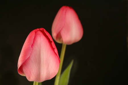 low light: Two pink tulips shot in low light for mood.  Used a shallow depth of field and selective focus leaving room for text.
