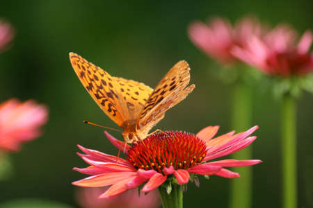 nectaring: Great Spangled Fritillary butterfly feeding on a cone flower. Used a very shallow depth of field with a selective focus.