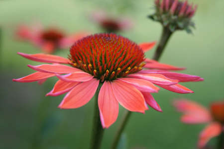 Beautiful cone flower captured in a garden on a summer day.  Used a selective focus and a shallow depth of field.