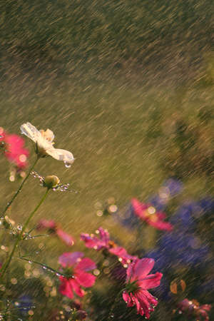 Beautiful cosmos shot in the rain with golden hour lighting giving them a warm feeling.  Copy sapce available.