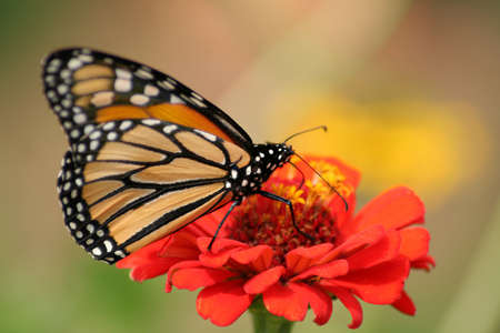 Monarch butterfly on a red zinnia.  Shot with a shallow depth of field and selective focus. photo