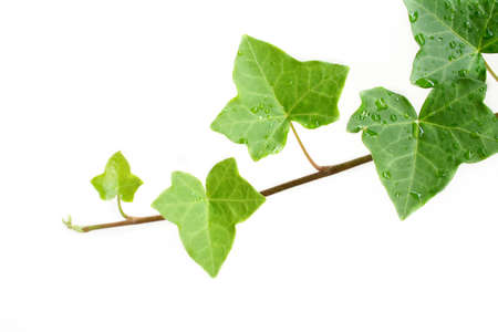 greenness: An ivy plant against a white background.  Room for your text.