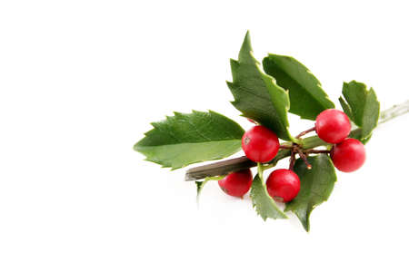 Fresh holly shot on a white background with room for text. Stock Photo - 5742419