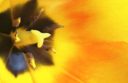 Macro of the inside of a tulip with copy space. Selective focus with a shallow depth of field. photo