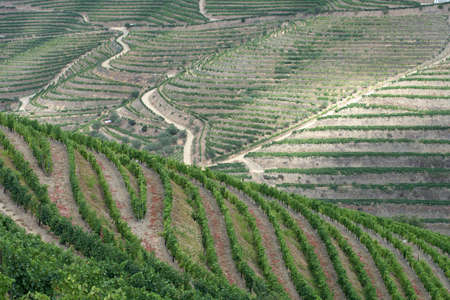 an agricultural district: Meandering lines of terraced grapevines fill the hills of the Douro Valley. Douro Valley, Portugal. July 24, 2015. Stock Photo