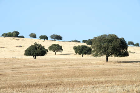 Cork trees dot the golden hills of Alentejo in eastern Portugal. Between Marvao and Estramoz, Portugal. July 16, 2015.
