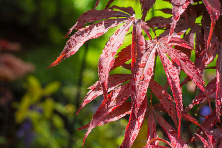 palmatum: Japanese Maple Acer palmatum