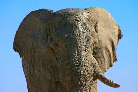 portrait of a large old bull elephant covered in mud with one tusk missing Stock Photo - 5015836