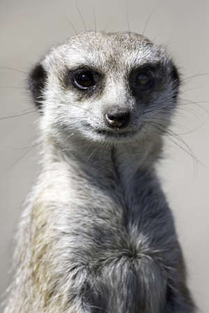 sentry: Close up of a meercat on watching for preditors Stock Photo