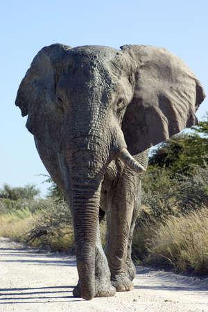 tusk: Big bull elephant covered in mud missing one tusk walking towards the camera in Etosha National Park, Namibia  Stock Photo