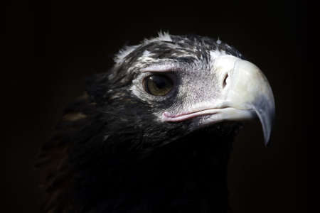 close up of the head of a wedge tail eagle in Australia photo