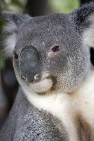 marsupial: Portrait of a Koala a marsupial from Australia