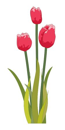 red tulip: Red Tulips  Stock Photo
