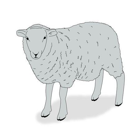 Illustration of a sheep on a white background Reklamní fotografie
