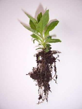 plant roots: Plant, Roots and soil on a white background