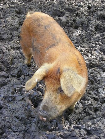wallowing: pig standing in mud