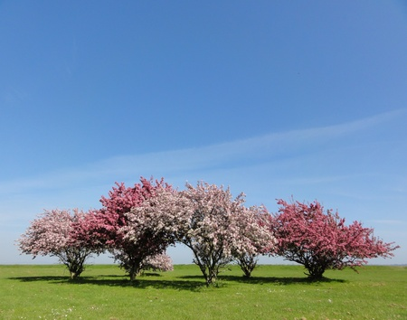 Photo of blossom trees on grass with a blue sky background